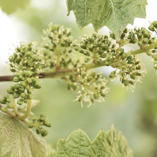 flowers_of_the_vine_chateau_palmer_1042x1042